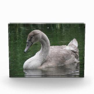 Cisne agraciado en el agua decorativa