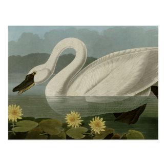 Cisne americano común tarjetas postales