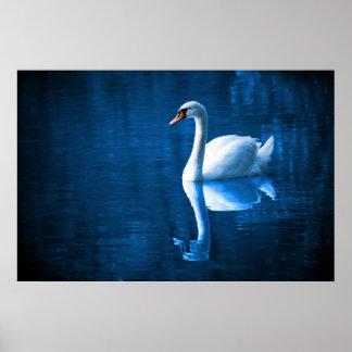 Cisne blanco bonito que flota en un lago azul poster