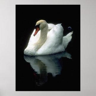 Cisne blanco elegante póster