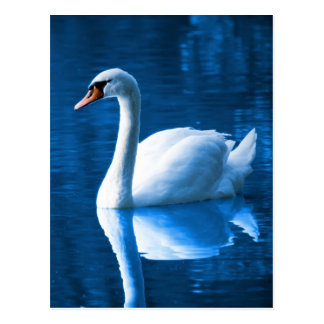 Cisne blanco hermoso en agua postales