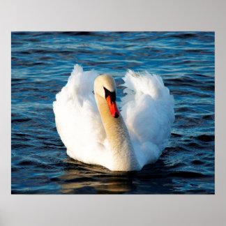 Cisne blanco hermoso en el lago impresiones