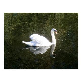 Cisne blanco hermoso que refleja en el río tarjeta postal