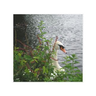 Cisne blanco que oculta en la lona del premio de l lona estirada galerias