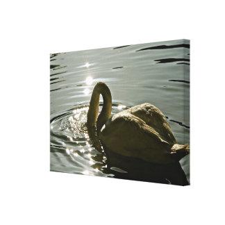 Cisne blanco que se baña en la luz de la mañana impresion en lona