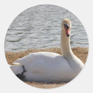 Cisne blanco salvaje que descansa en el lado del pegatina redonda