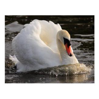 Cisne de Busking Postales