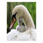 Cisne de la madre y del bebé postal