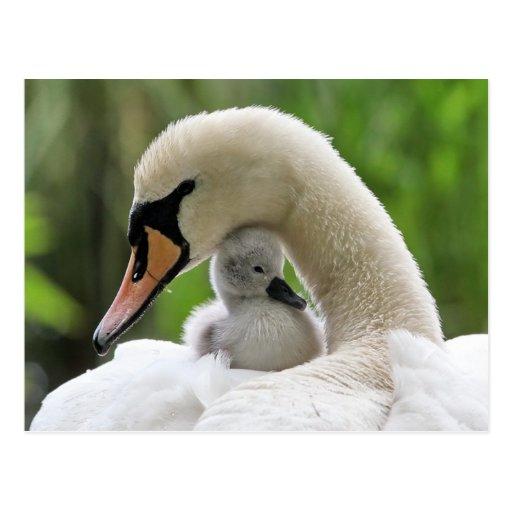 Cisne de la madre y del bebé postales