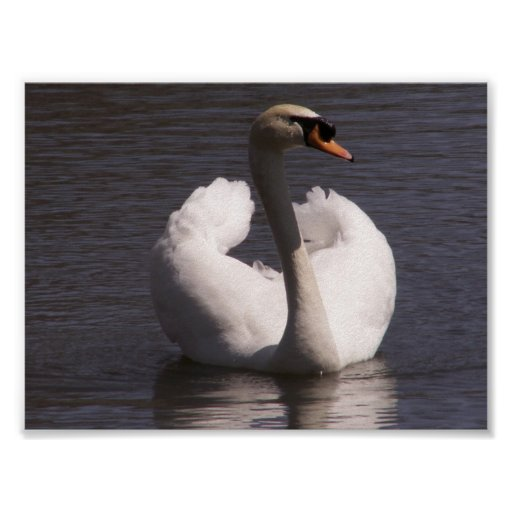 Cisne de la mazorca posters