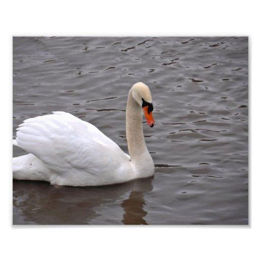 Cisne de Mutre en un lago gris Impresion Fotografica