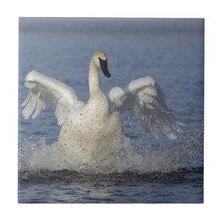 Cisne de trompetista azulejo