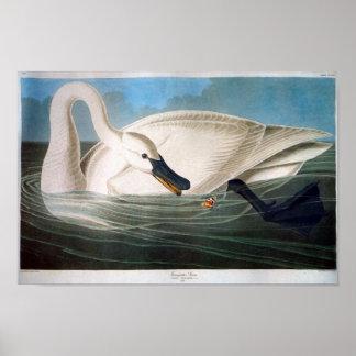 Cisne de trompetista, John James Audubon Póster