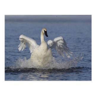 Cisne de trompetista postal