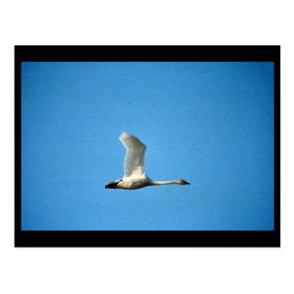 Cisne de tundra en vuelo postal