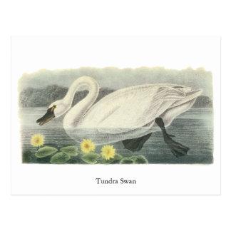 Cisne de tundra, Juan Audubon Tarjetas Postales