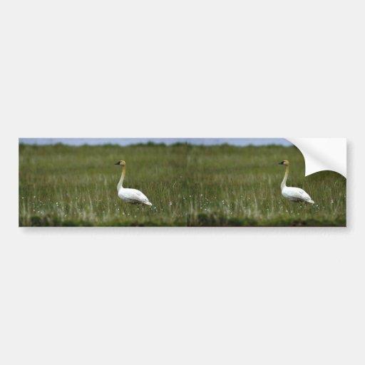 Cisne de tundra pegatina de parachoque