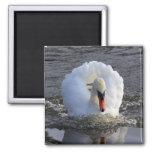 Cisne del acorazado imanes de nevera