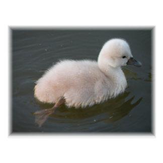 Cisne del bebé hacia fuera para una postal de la n