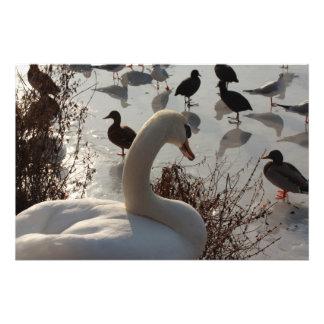 cisne del invierno arte con fotos