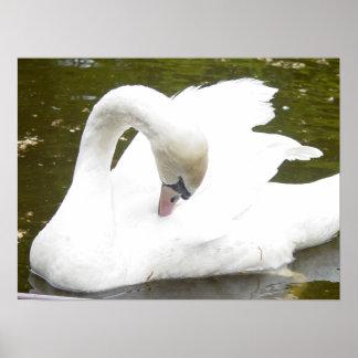 Cisne del lago impresiones