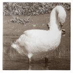 Cisne del sur de Devon que coloca la marea baja de Azulejos