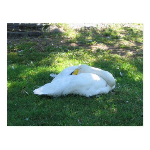 Cisne el dormir tarjeta postal