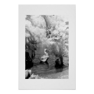 Cisne en el jardín de Eden Póster