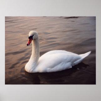 Cisne en el lago posters