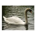 Cisne en el lago postal