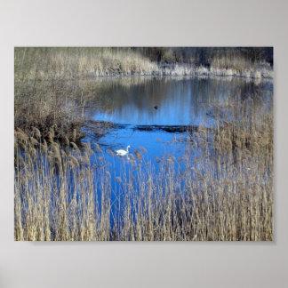 Cisne en el lago Tikvara Póster