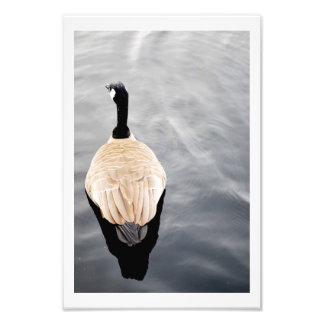 Cisne en la foto del poster del color del lago fotografía