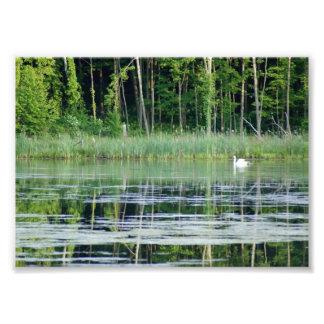 Cisne en la impresión fotográfica reflexiva del la