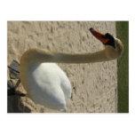 Cisne en la playa postales