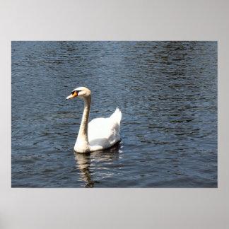 Cisne en un lago impresiones