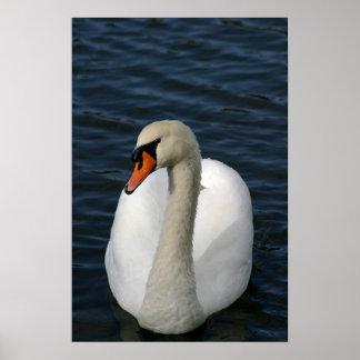 Cisne en un lago poster