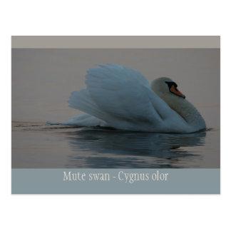Cisne hermoso en la luz CC0755 de la tarde Postales