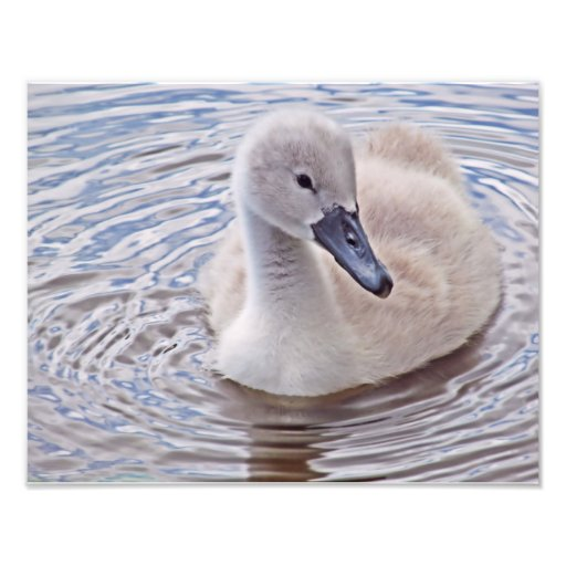 Cisne mudo del pollo del cisne fotografia