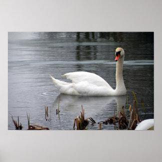 Cisne mudo en el poster del lago