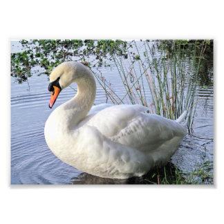 Cisne mudo impresion fotografica