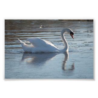 Cisne mudo fotografías