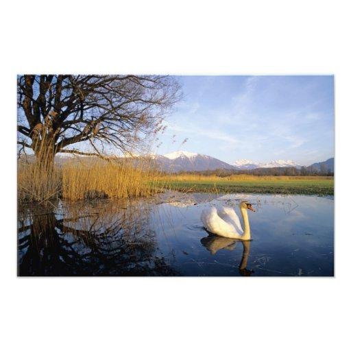 Cisne mudo, olor del Cygnus, adulto con las montañ Impresiones Fotograficas