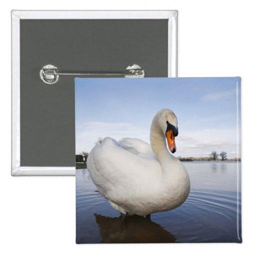 Cisne mudo (olor del Cygnus) en campo inundado, Pin Cuadrada 5 Cm