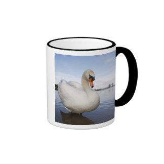 Cisne mudo (olor del Cygnus) en campo inundado, Taza A Dos Colores