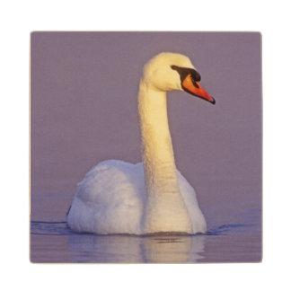Cisne mudo, olor del Cygnus, varón,