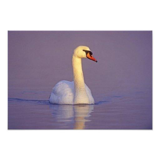 Cisne mudo, olor del Cygnus, varón, Unterlunkhofen Fotografías