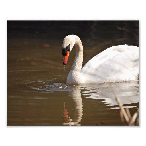 Cisne mudo fotografias
