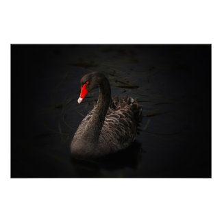 Cisne negro hermoso póster