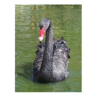 Cisne negro postales