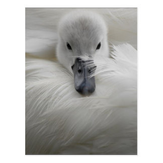 Cisne, plumas blancas hermosas, comodidad de la postal